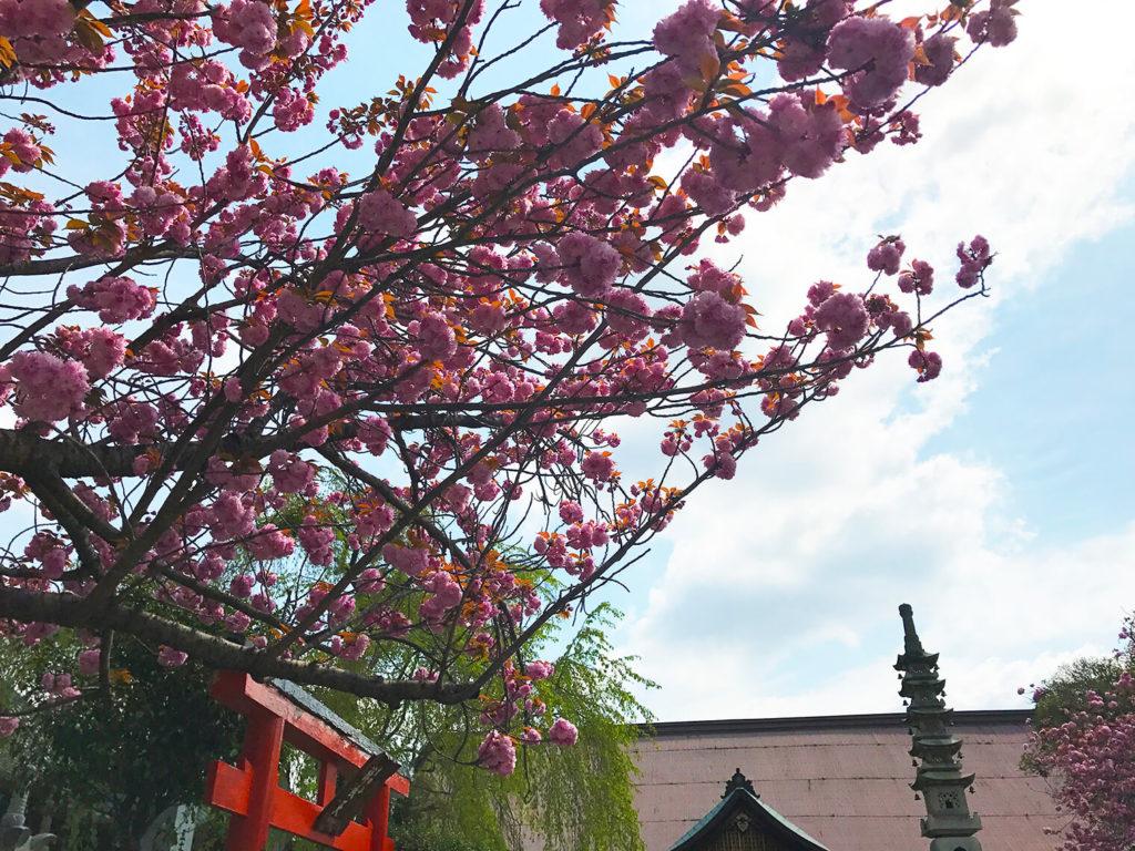 途中によった神社の桜